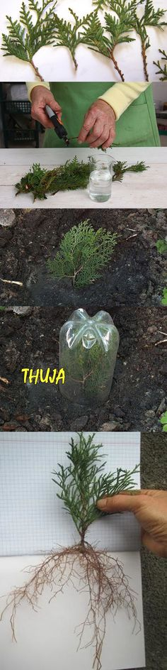 Thuja grow from twigs easily Driveway Landscaping, Good House, Small Gardens, Growing Plants, Fruit Trees, Lawn And Garden, Bonsai, Cactus, Gardening