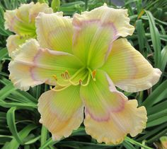 Fashion Icon Daylily from Pete Harry Daylilies