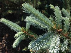 The Fat Albert Spruce (Picea Pugens) features a dense, upright shape (cone), tight branching, and a gorgeous blue needle color. The Fat Albert is an ideal landscape specimen tree and makes a great Christmas tree. An ideal location is a medium, well-drained soil in full sun. Prefers rich, moist soils.  http://hoosierhomeandgarden.com/fat-albert-spruce/