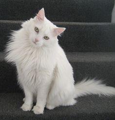 25 Best Beautiful Turkish Angora Cats ️ images   Turkish ...