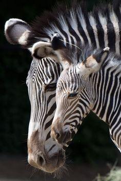 Grevy's Zebra foal