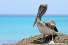 Curacao Pelican | Flickr - Photo Sharing! https://www.facebook.com/Curacaoimages #Curacao #Curaçao #pelican