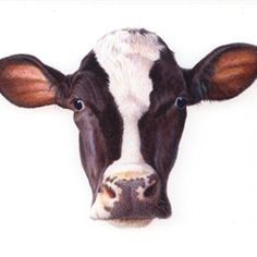 Portrait of cow illustration by Andrew Hutchinson