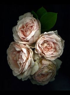 ♔ Pale roses
