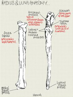 A place to find hints, tips and ask questions. : Radius and Ulna Anatomical Points you need to know...