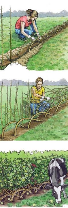Mother Earth News website shares how to grow and create a living fence to create a property line marker or a living privacy screen