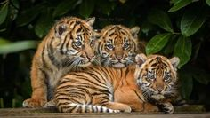In late January, Chester Zoo announced the birth of three endangered Sumatran Tiger Cubs. ZooBorns was excited to share the news and introduced our readers to the tiny trio. Photo Credits: Chester Zoo The cubs, born to mum, 'Kirana',. Big Cats, Cats And Kittens, Cute Cats, Siamese Cats, Funny Cats, Beautiful Cats, Animals Beautiful, Beautiful Creatures, Beautiful Images