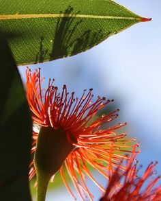 Eucalyptus flower Australian Wildflowers, Australian Flowers, Australian Plants, Australian Garden Design, Australian Native Garden, Red Flowers, Beautiful Flowers, Eucalyptus Tree, Special Flowers