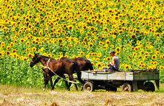 Ukraine the land of sunflowers
