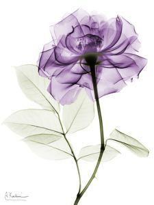 Purple Rose Portrait Albert Koetsier Purple Rose Portrait 2 Art Print by Albert Koetsier at Art. Xray Flower, Flower Art, Finger Tattoos, Lila Tattoos, Purple Flower Tattoos, Rose Sketch, Sketch Art, Aquarell Tattoos, Transparent Flowers