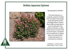 Spiraea-japonica-Bullata