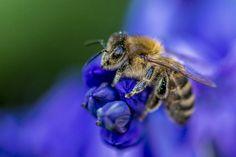 Honeybee  by Andrew Locking