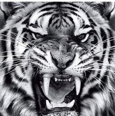 Agressive Tiger Eyes