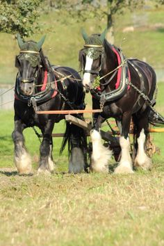 Shire horses are very tall horses; The Shire held the record for both tallest and largest breed in the world. Horse Caballo, Suffolk Punch, Largest Horse Breed, Shire Horse, Clydesdale Horses, Draft Horses, Horse Drawn, Horse Photos, Gentle Giant