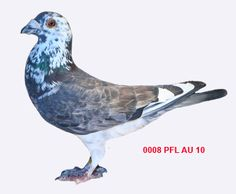 Racing Pigeon Breeders For Sale $45 and less - Pigeon-Talk