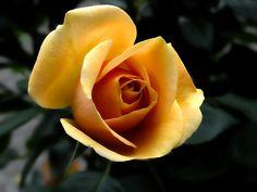 Rosa, Laranja, Flores, Flor, Verão, Natureza, Planta
