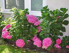 Íme, a titok, hogy szép hortenziánk legyen a kertben Hydrangea, Gardening, Vintage, Decor, Recipes, House, Gardens, Animals, Decoration