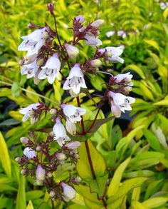 Party Penstemon Collection | Hayloft All Plants, Potted Plants, Farm Nursery, Manor Farm, Hardy Perennials, Mother Nature, Roots, Bloom, Stems