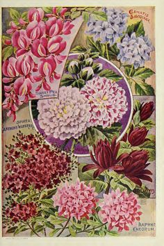 Flowering shrubs from John Lewis Childs 1900 | Flickr - Photo Sharing!