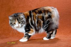 This is the most gorgeous coloring i've ever seen on a cat !!!   Beauty !!!