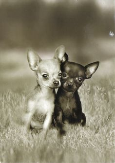 little friends! Awwww, precious! #dogs #Chihuahuas #dog #black #photography #lovelydogs