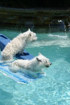 AWE I didn't know Westies loved the water like this
