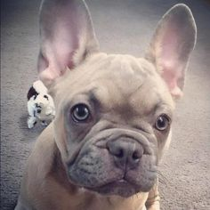 I am a gorgeous frenchie!