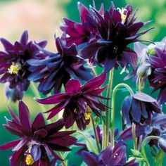 """Aquilegia """"Black Barlow"""" great for early summer colour before the grasses and other perennials have grown up. Can be cut down after flowering."""