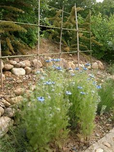 The flowers make an appearance. Little tomatoe plants behind on trellis.