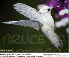 Rare White Hummingbird Sighting in Westerville, Oh