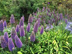 Pride of Maidera #California #flowers