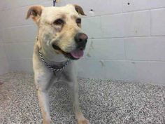 SAFE --- OUT OF TIME!!! RUDY - ID #A462398 (MUST EXIT ON 3/21)   I am a male, tan Labrador Retriever.   I have been at the shelter since Mar 14, 2014.  If I am not claimed, after my stray holding period, I may be available for adoption on Mar 21, 2014 San Bernardino City Shelter - Phone: 909-384-1304, Address: 333 Chandler Pl., San Bernardino, CA 92408. https://www.facebook.com/photo.php?fbid=10201180309583719&set=a.3186215868195.111836.1649756531&type=3&theater