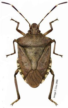 Brown marmorated stink bug : Insects : University of Minnesota Extension