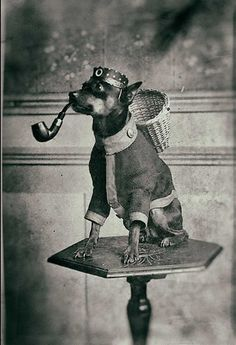 1920's Vintage dog smoking a pipe by Antique photo archive