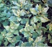 new-zealand-spinach