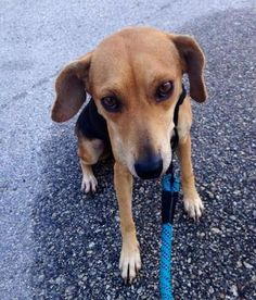 Meet Harper, a Petfinder adoptable Beagle Dog | Tampa, FL | Hi my name is Harper and I need a fur-ever home. Since I was a stray dog, I didn't know any...