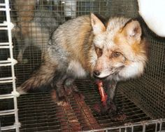 Gap Inc. recently acquired a new company and continues to sell its fur-lined products. Harvesting fur usually involves bludgeoning, electrocuting, and skinning animals alive to produce quality pieces. Tell Gap to stop buying fur from these grisly operations and make Gap Inc. 100 percent fur free.