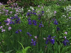 siberian iris caesar's brother   Siberian Iris 'Caesar's Brother' and Hesperis matronalis in the Kennel ...