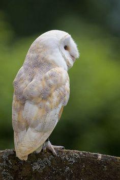 Barn Owl in Churchyard