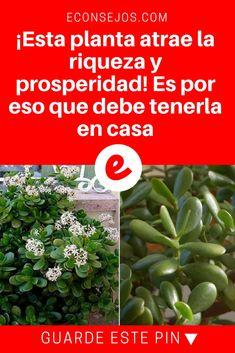 Planta del dinero | ¡Esta planta atrae la riqueza y prosperidad! Es por eso que debe tenerla en casa