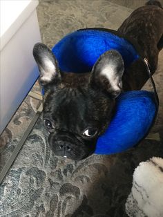 He's still mad at me after that 'special trip to the Vet', Mr. Robert Frenchie Love