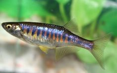 danio choprae - Google Search