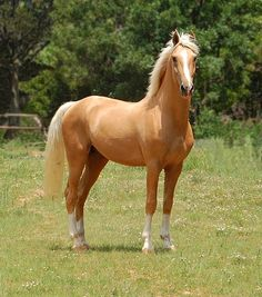 Napoleon - Palomino part Saddlebred Stallion by must love horses on Flickr.