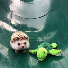 Biddy The Hedgehog Happy Hedgehog, Cute Hedgehog, Cute Baby Animals, Animals And Pets, Pygmy Hedgehog, Armadillo, Animal Memes, Beautiful Creatures, Cute Cats