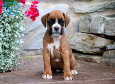 Spring | Boxer Puppy For Sale | Keystone Puppies