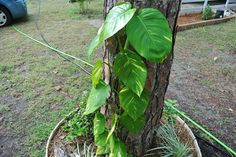 122514 The leaves sometime become so large that they may cause the vine to lose its tendril-hold on the trunk, especially after heavy rain storms. Golden Pothos, Rain Storm, Storms, Vines, Tropical, Leaves, Canning, Garden, Plants