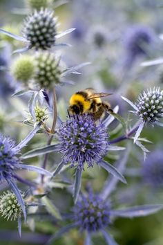 Echinops and the bee.
