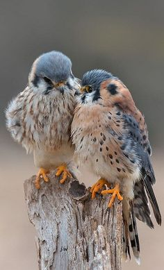 by naturesmoments. American Kestrel, birds of prey Pretty Birds, Love Birds, Beautiful Birds, Animals Beautiful, Cute Animals, Birds 2, Birds Pics, Small Birds, Beautiful Couple