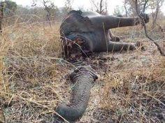 Eléphants tués pour leur ivoire dans le monde