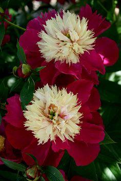 Peony: Paeonia 'White Cap'